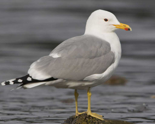 california_gull