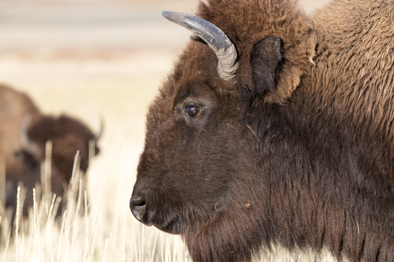 bison_side_profile_5